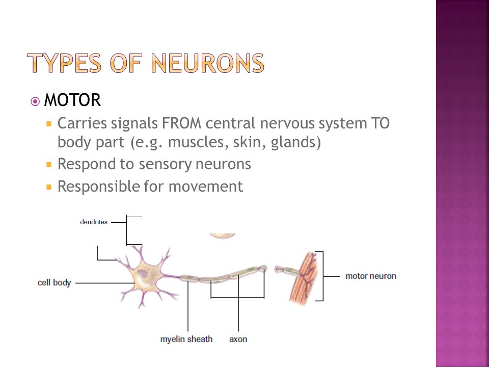  MOTOR  Carries signals FROM central nervous system TO body part (e.g.