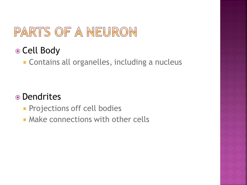  Cell Body  Contains all organelles, including a nucleus  Dendrites  Projections off cell bodies  Make connections with other cells