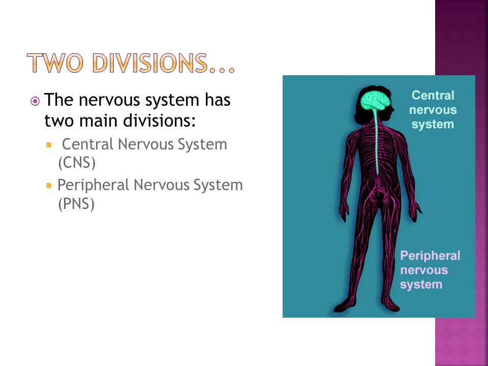  The nervous system has two main divisions:  Central Nervous System (CNS)  Peripheral Nervous System (PNS)