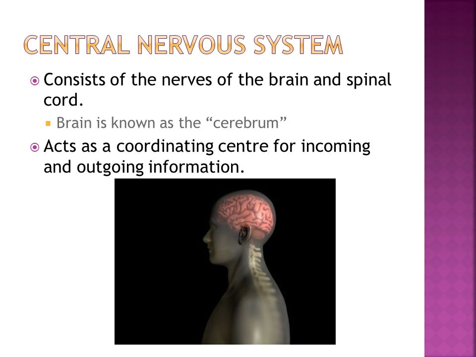  Consists of the nerves of the brain and spinal cord.