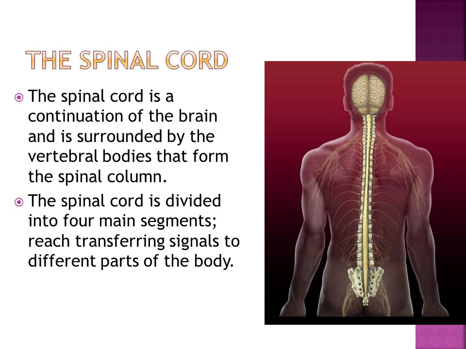  The spinal cord is a continuation of the brain and is surrounded by the vertebral bodies that form the spinal column.