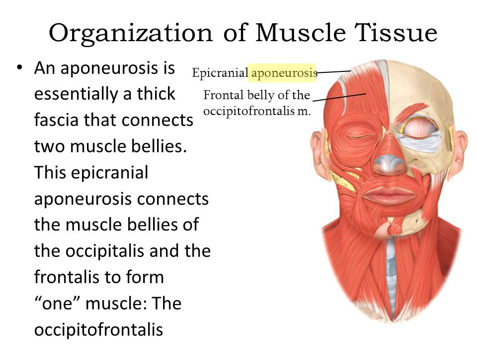 organization of muscle tissue an aponeurosis is essentially a thick
