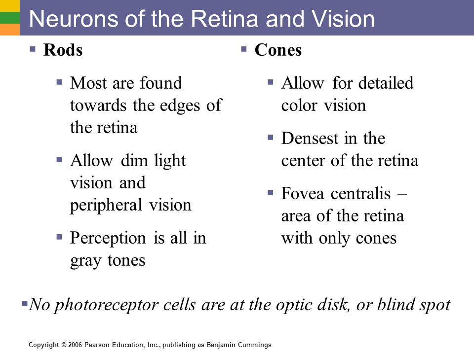 Neurons of the Retina and Vision  Rods  Most are found towards the edges of the retina  Allow dim light vision and peripheral vision  Perception is all in gray tones  Cones  Allow for detailed color vision  Densest in the center of the retina  Fovea centralis – area of the retina with only cones  No photoreceptor cells are at the optic disk, or blind spot