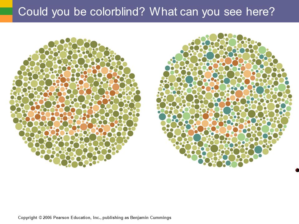 Copyright © 2006 Pearson Education, Inc., publishing as Benjamin Cummings Could you be colorblind.
