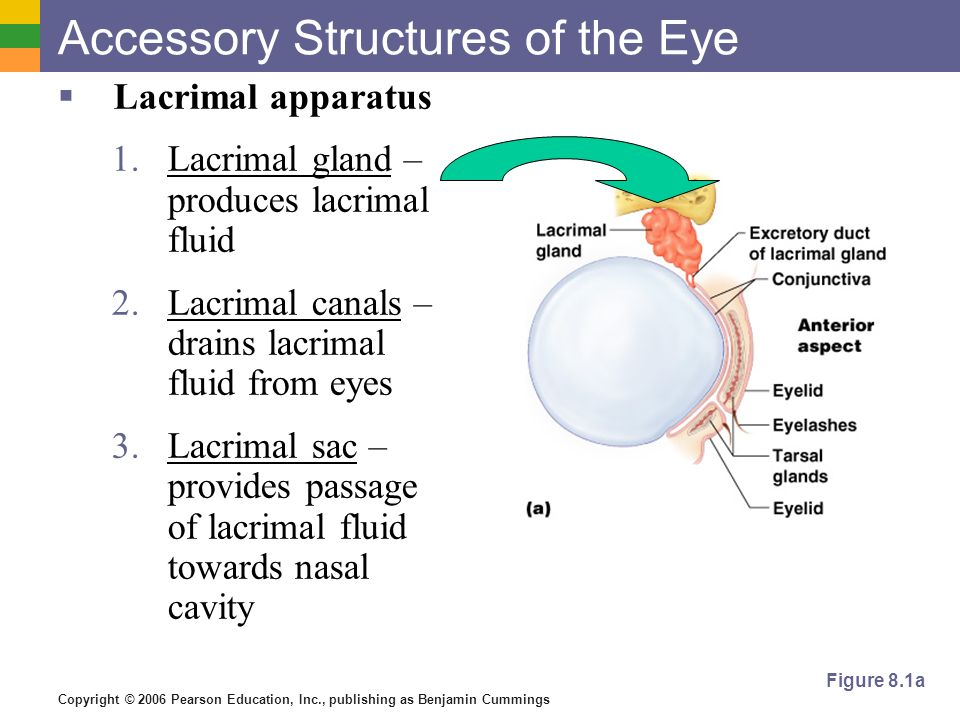 Copyright © 2006 Pearson Education, Inc., publishing as Benjamin Cummings Accessory Structures of the Eye  Lacrimal apparatus 1.Lacrimal gland – produces lacrimal fluid 2.Lacrimal canals – drains lacrimal fluid from eyes 3.Lacrimal sac – provides passage of lacrimal fluid towards nasal cavity Figure 8.1a