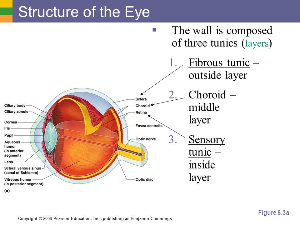 Copyright © 2006 Pearson Education, Inc., publishing as Benjamin Cummings Structure of the Eye  The wall is composed of three tunics ( layers ) 1.Fibrous tunic – outside layer 2.Choroid – middle layer 3.Sensory tunic – inside layer Figure 8.3a