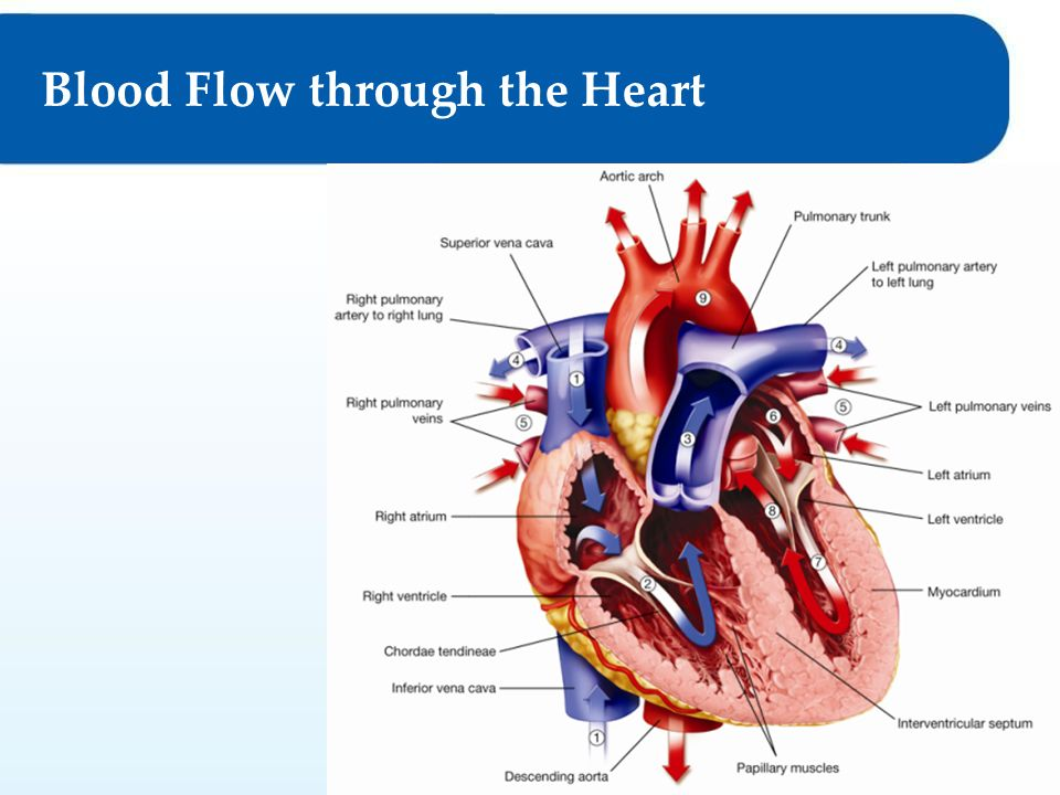 11 Heart Anatomy And The Function Of The Cardiovascular System Blood