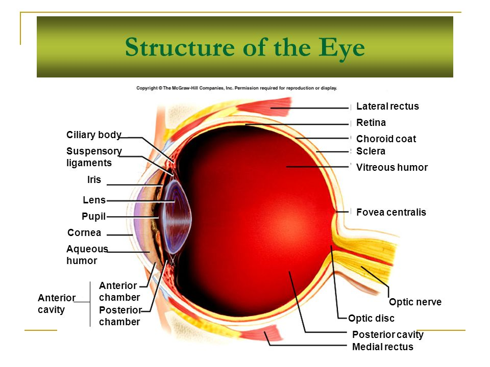 Structure of the Eye Lateral rectus Retina Choroid coat Sclera Vitreous humor Fovea centralis Optic nerve Optic disc Posterior cavity Medial rectus Anterior chamber Posterior chamber Anterior cavity Ciliary body Suspensory ligaments Iris Lens Pupil Cornea Aqueous humor