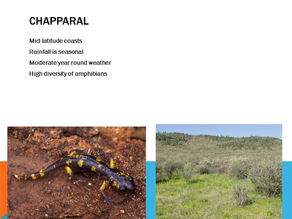 CHAPPARAL Mid-latitude coasts Rainfall is seasonal Moderate year round weather High diversity of amphibians