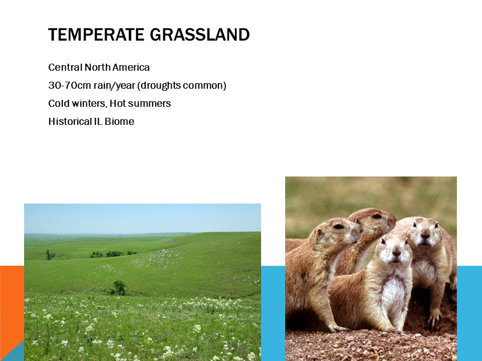 TEMPERATE GRASSLAND Central North America 30-70cm rain/year (droughts common) Cold winters, Hot summers Historical IL Biome