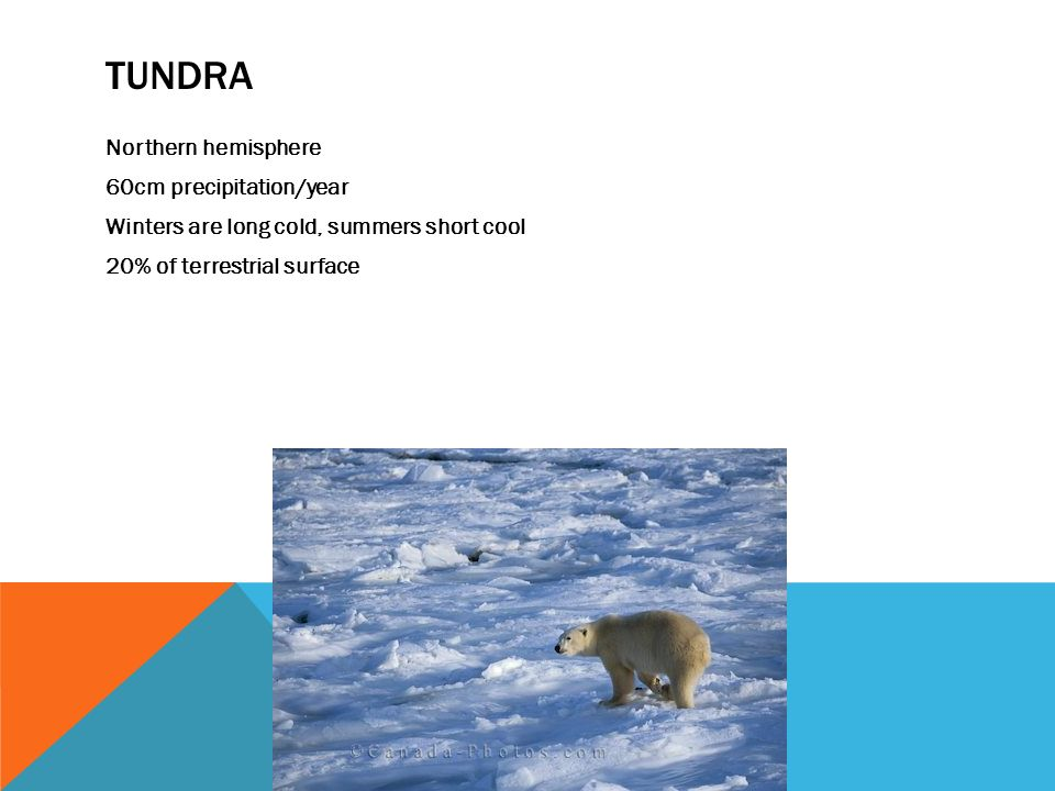 TUNDRA Northern hemisphere 60cm precipitation/year Winters are long cold, summers short cool 20% of terrestrial surface
