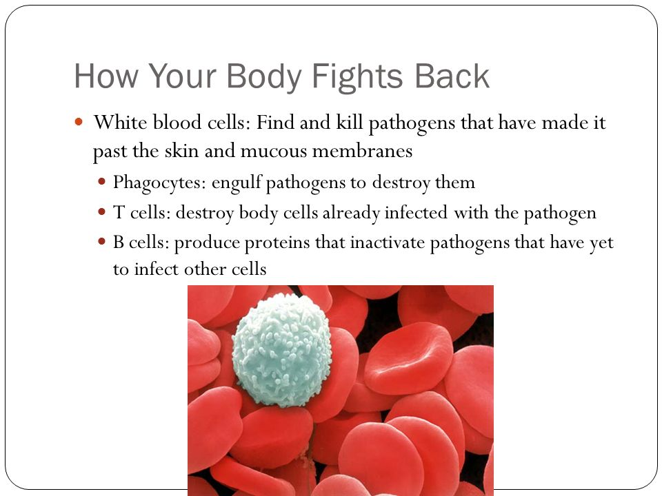 How Your Body Fights Back White blood cells: Find and kill pathogens that have made it past the skin and mucous membranes Phagocytes: engulf pathogens to destroy them T cells: destroy body cells already infected with the pathogen B cells: produce proteins that inactivate pathogens that have yet to infect other cells