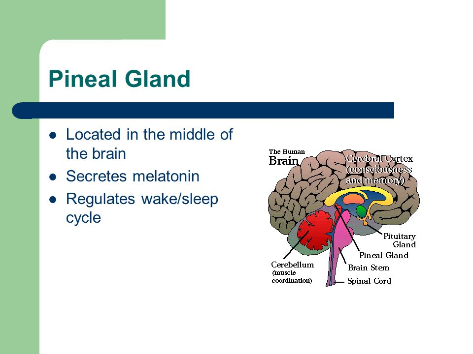 Pineal Gland Located in the middle of the brain Secretes melatonin Regulates wake/sleep cycle