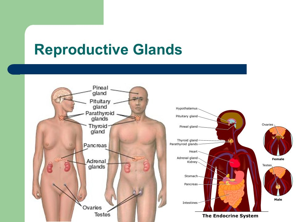 Reproductive Glands