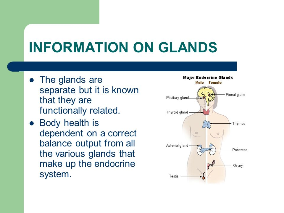 INFORMATION ON GLANDS The glands are separate but it is known that they are functionally related.