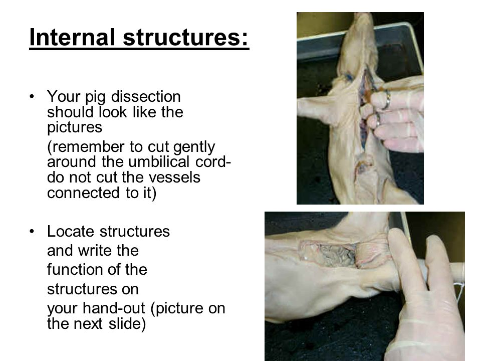 Fetal Pig Dissection The Fetal Pig Is A Mammal Like Us So It Has