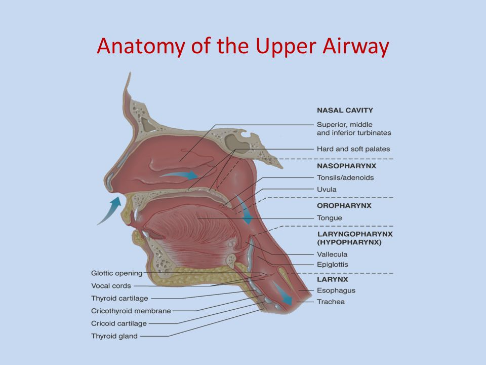 Objectives.. 1.Learn about basic airway anatomy 2.Conduct a ...