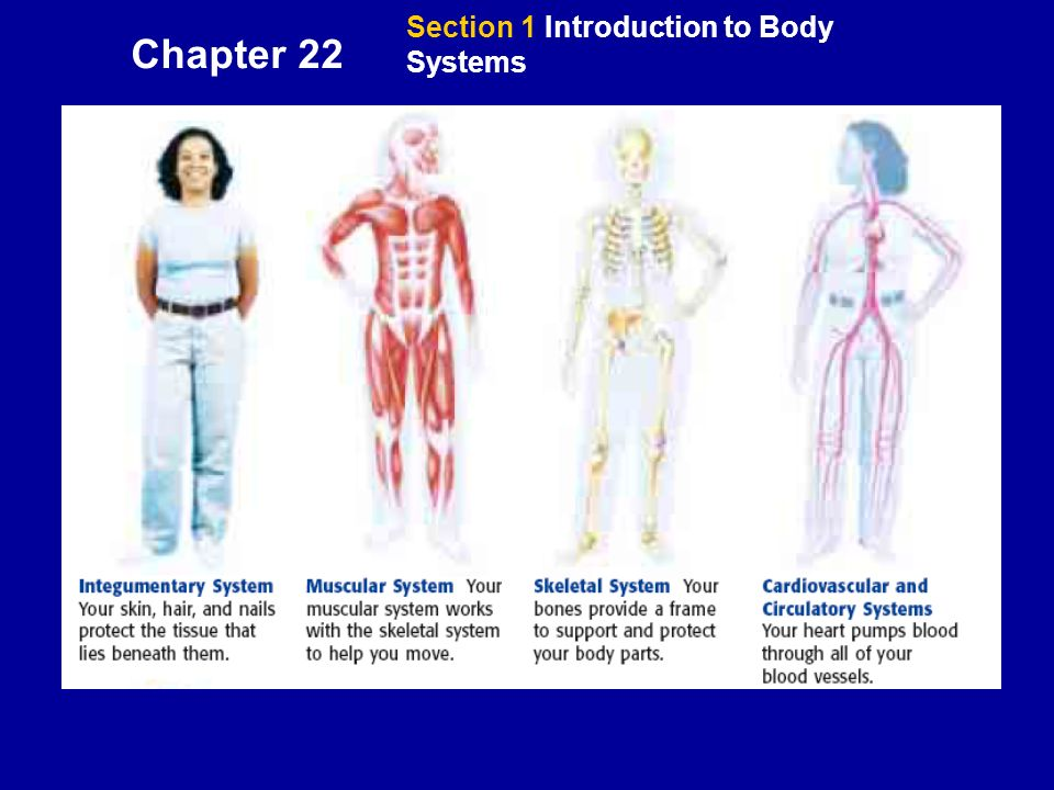 Section 1 Introduction To Body Systems Objectives Describe How