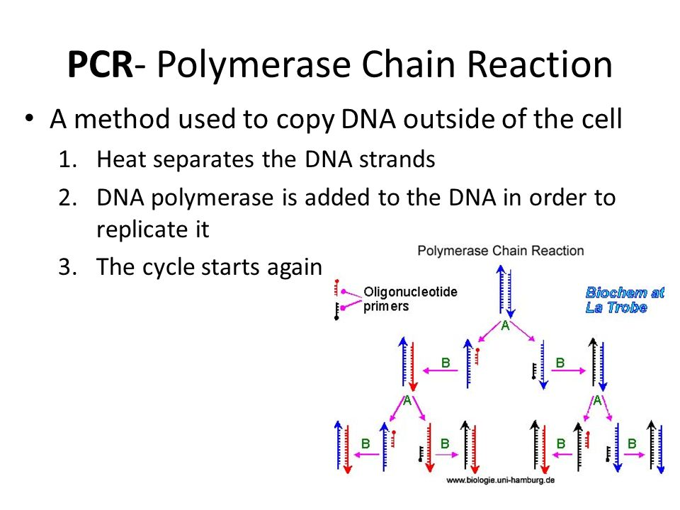 PCR- Polymerase Chain Reaction A method used to copy DNA outside of the cell 1.Heat separates the DNA strands 2.DNA polymerase is added to the DNA in order to replicate it 3.The cycle starts again