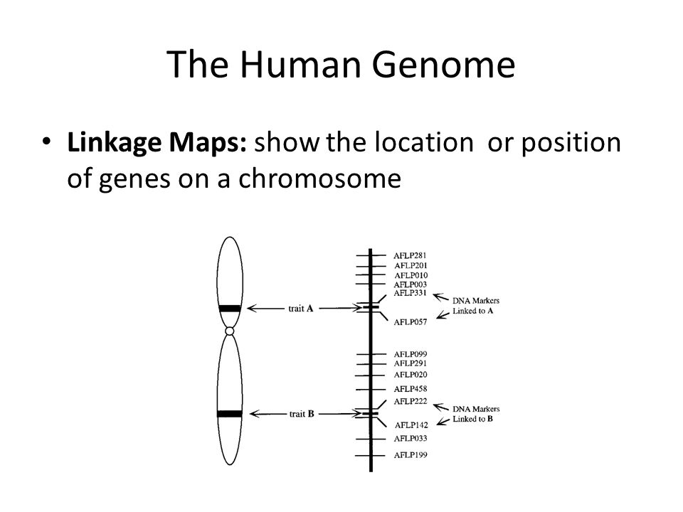 The Human Genome Linkage Maps: show the location or position of genes on a chromosome