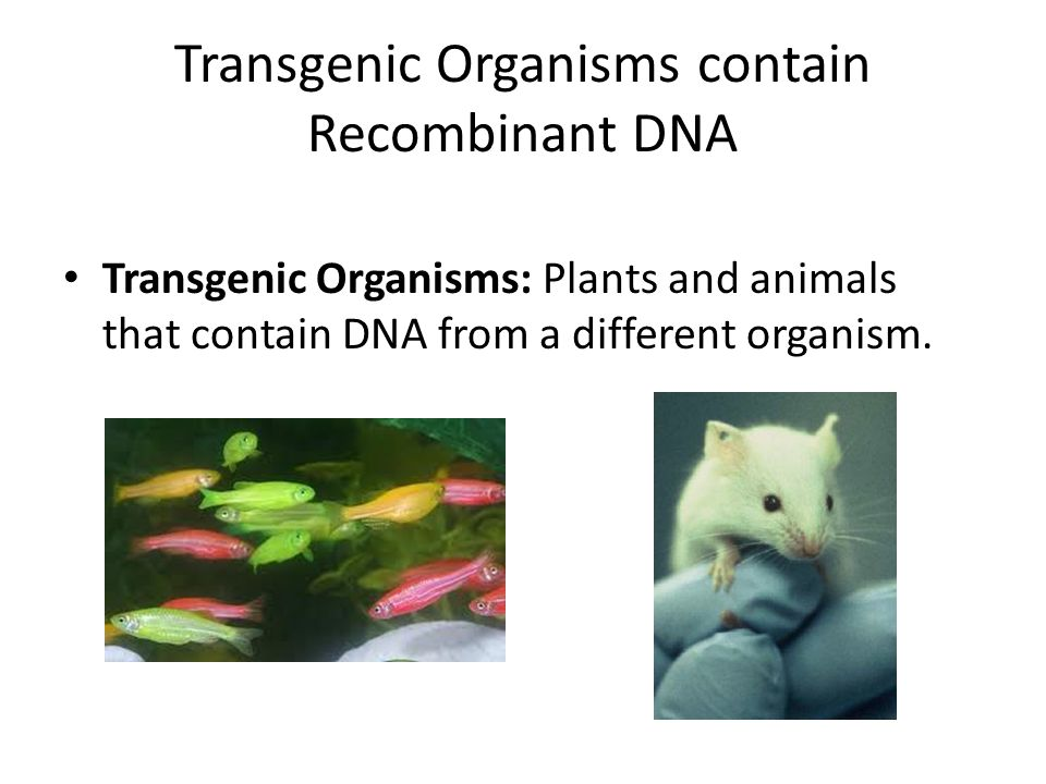 Transgenic Organisms contain Recombinant DNA Transgenic Organisms: Plants and animals that contain DNA from a different organism.