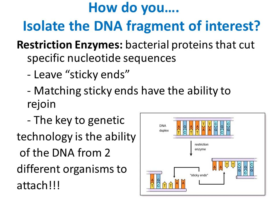 How do you…. Isolate the DNA fragment of interest.