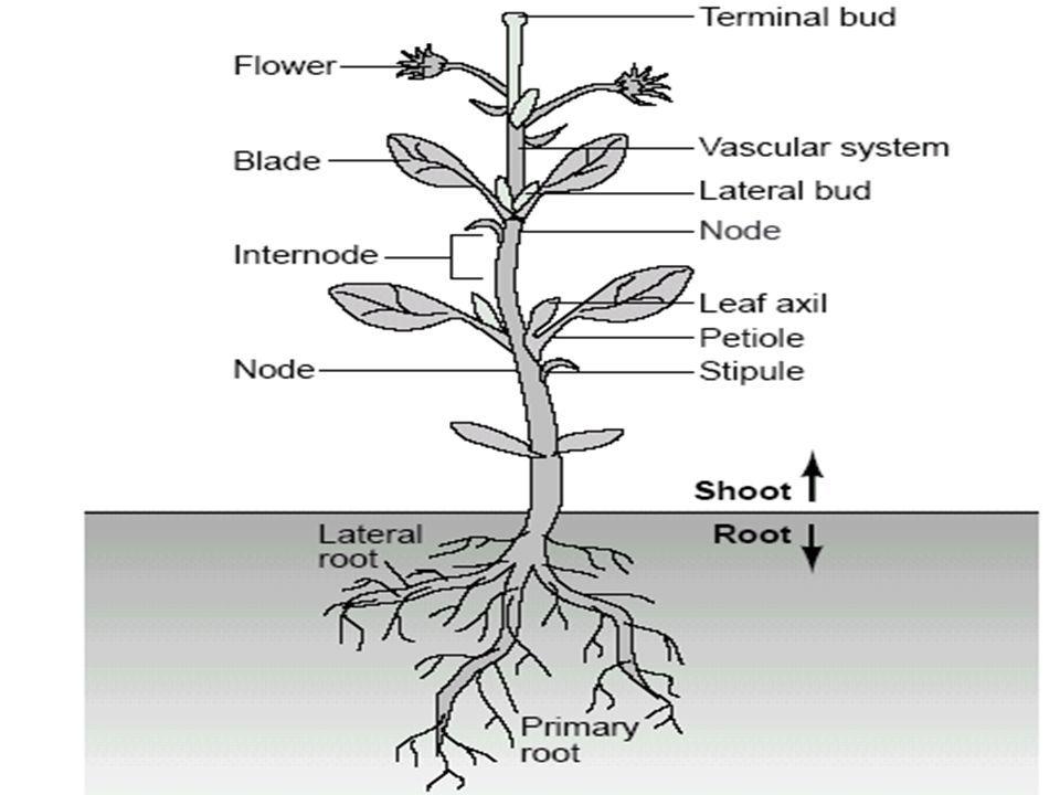 Unit 2: Plant Structure & Anatomy - ppt download