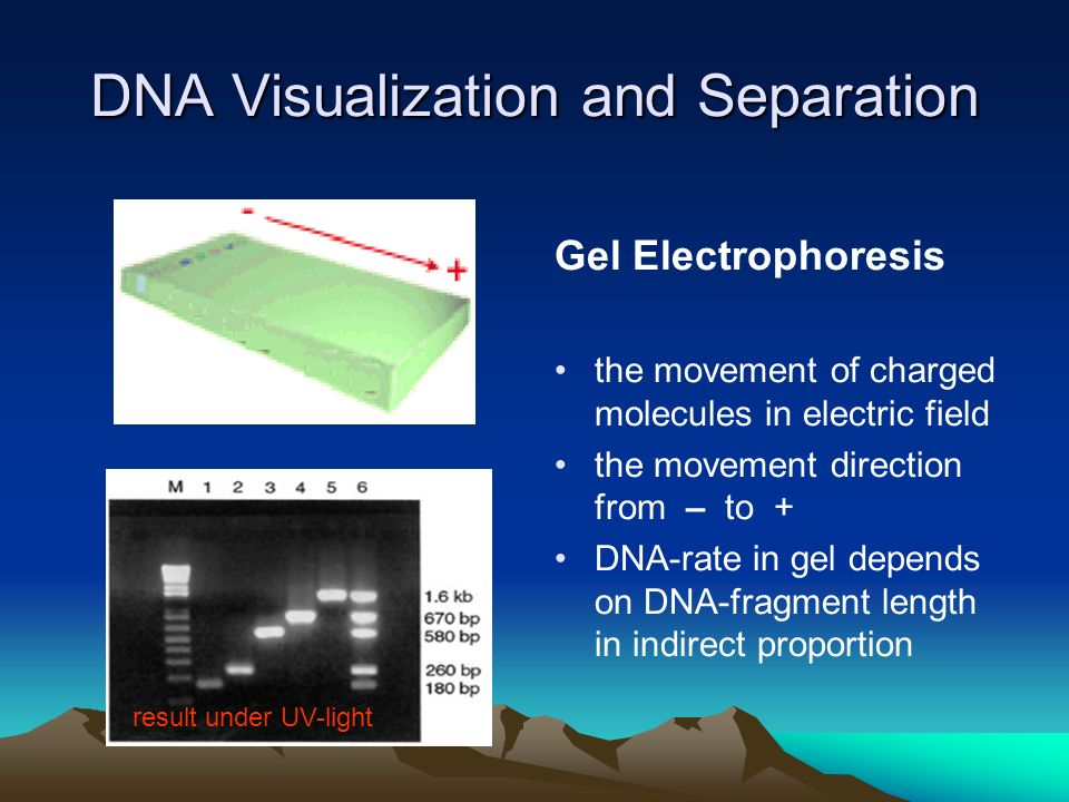 DNA Visualization and Separation Gel Electrophoresis the movement of charged molecules in electric field the movement direction from – to + DNA-rate in gel depends on DNA-fragment length in indirect proportion result under UV-light