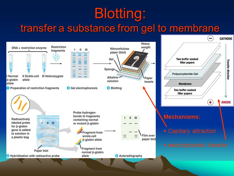 Blotting: transfer a substance from gel to membrane Mechanisms:  Capillary attraction  electrophoretic transfer