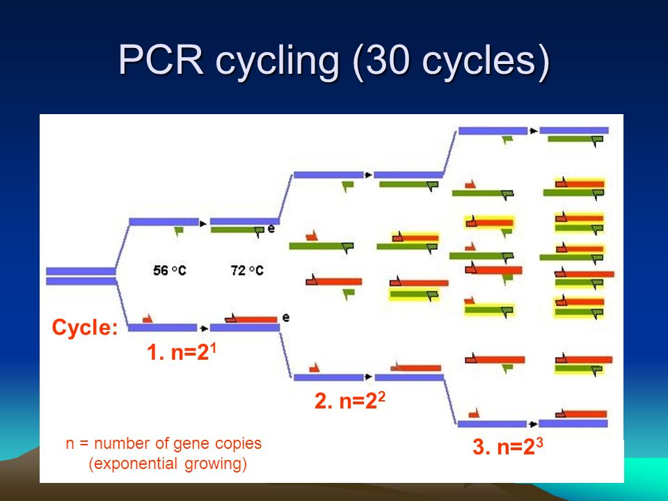 PCR cycling (30 cycles) 1. n= n=
