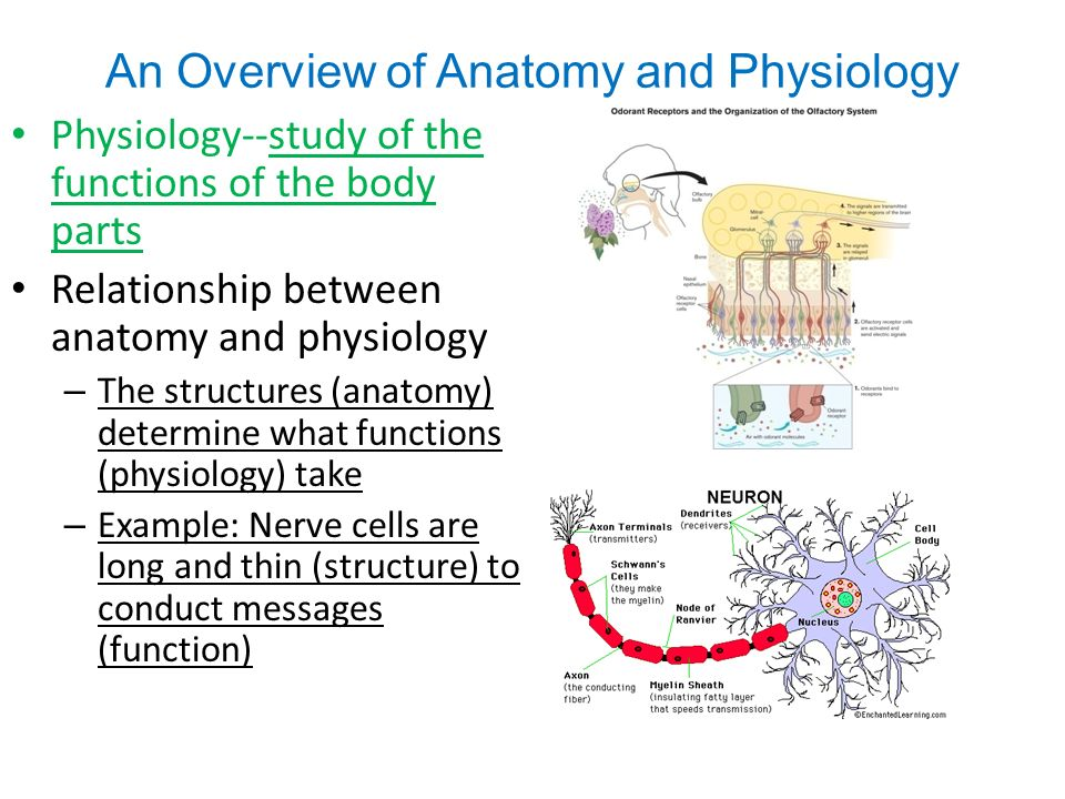 An Overview of Anatomy and Physiology Anatomy- the study of body ...