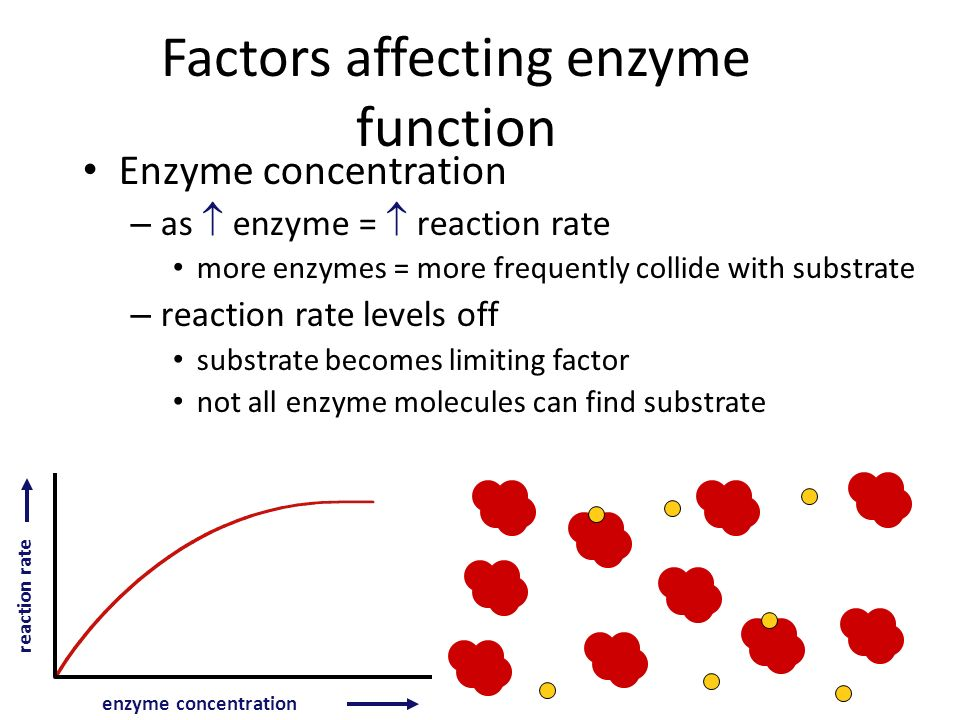 Factors Affecting Enzyme Function Enzyme concentration Substrate concentration Temperature pH Salinity Activators Inhibitors catalase