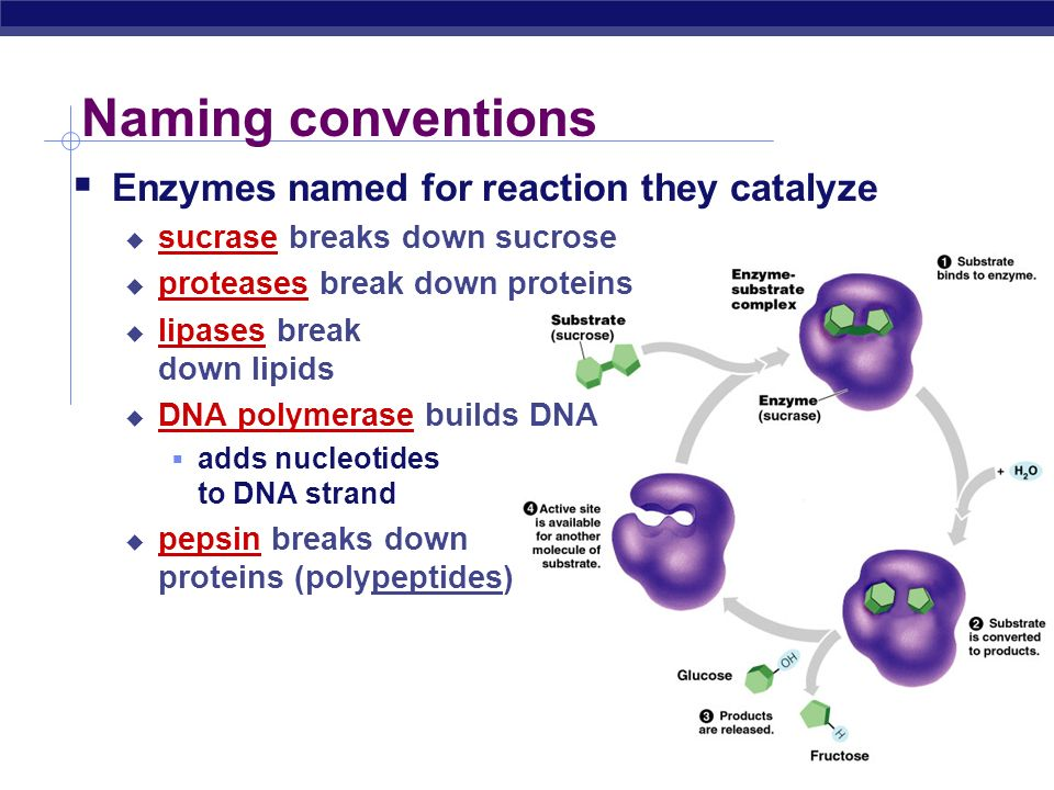 Properties of enzymes  Reaction specific  each enzyme works with a specific substrate  chemical fit between active site & substrate  H bonds & ionic bonds  Not consumed in reaction  single enzyme molecule can catalyze thousands or more reactions per second  enzymes unaffected by the reaction  Affected by cellular conditions  any condition that affects protein structure  temperature, pH, salinity
