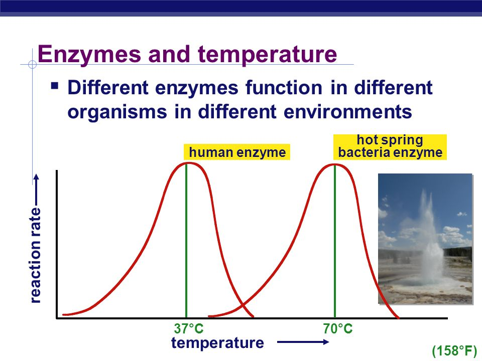 Factors affecting enzyme function  Temperature  Optimum T°  greatest number of molecular collisions  human enzymes = 35°- 40°C  body temp = 37°C  Heat: increase beyond optimum T°  increased energy level of molecules disrupts bonds in enzyme & between enzyme & substrate  H, ionic = weak bonds  denaturation = lose 3D shape (3° structure)  Cold: decrease T°  molecules move slower  decrease collisions between enzyme & substrate