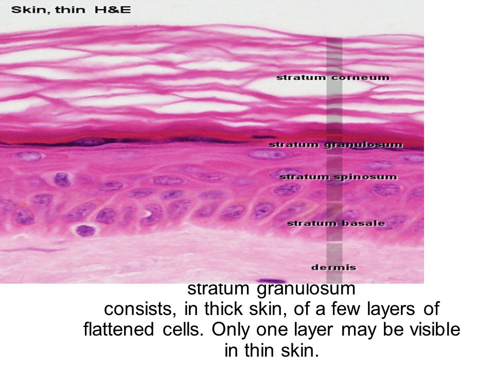Three layers forming the skin the dermis, consists of dense ...