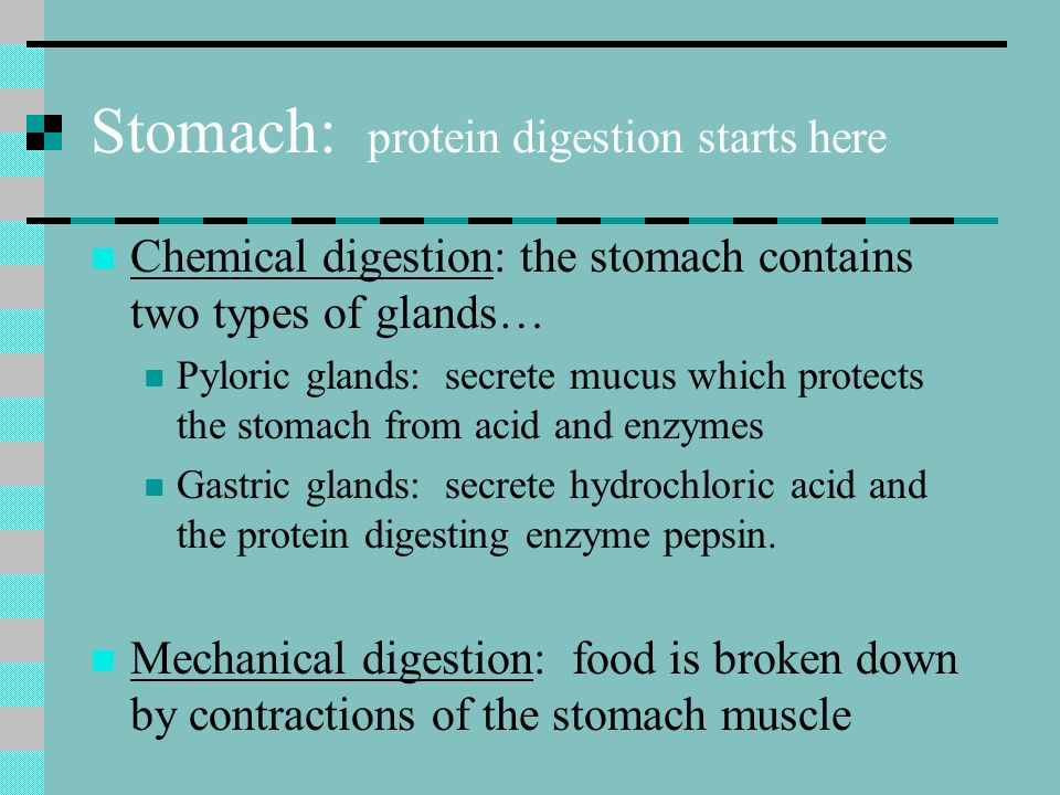Stomach: protein digestion starts here Chemical digestion: the stomach contains two types of glands… Pyloric glands: secrete mucus which protects the stomach from acid and enzymes Gastric glands: secrete hydrochloric acid and the protein digesting enzyme pepsin.