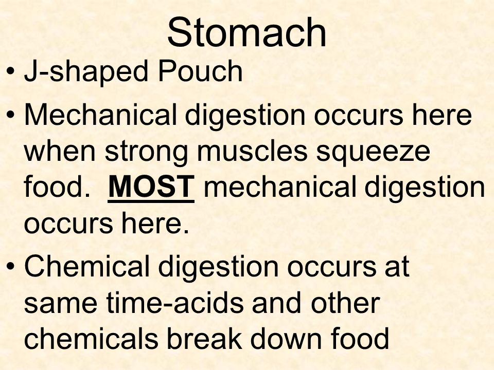 Stomach J-shaped Pouch Mechanical digestion occurs here when strong muscles squeeze food.