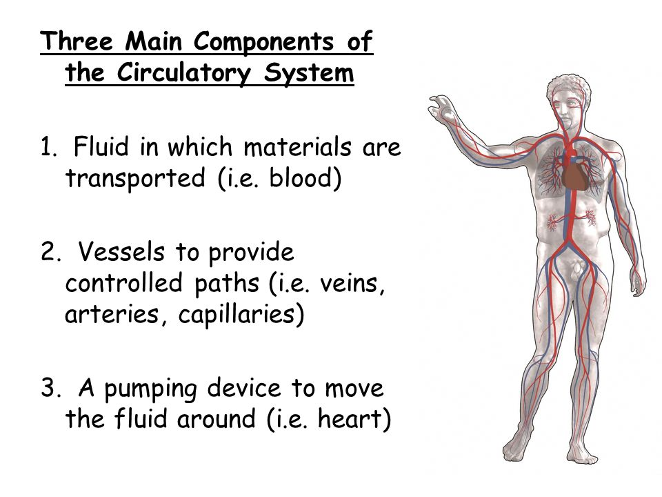 The Circulatory System Objectives 1explain The Functions Of The