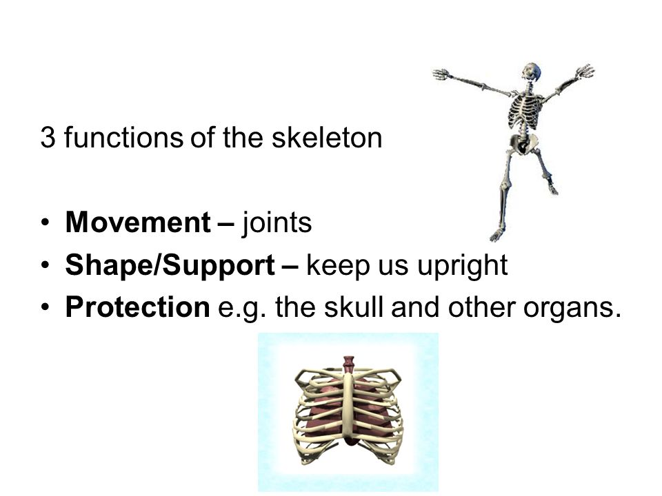 Skeletal System 3 Functions Of The Skeleton Movement Joints Shape