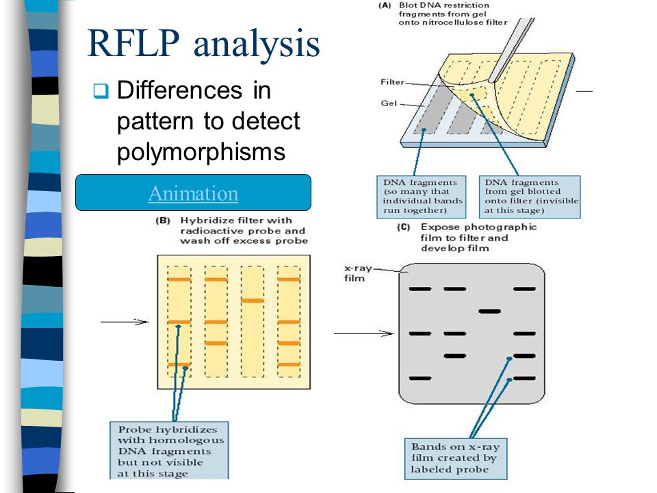 RFLP analysis  Differences in pattern to detect polymorphisms Animation
