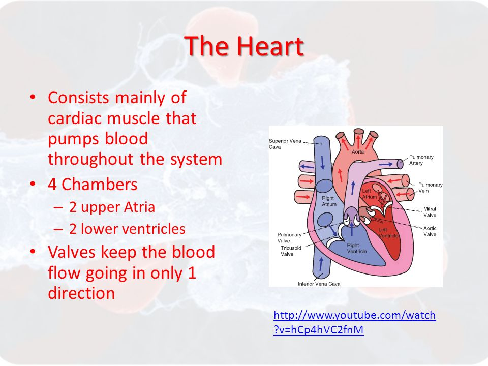 The Heart Consists mainly of cardiac muscle that pumps blood throughout the system 4 Chambers – 2 upper Atria – 2 lower ventricles Valves keep the blood flow going in only 1 direction   v=hCp4hVC2fnM