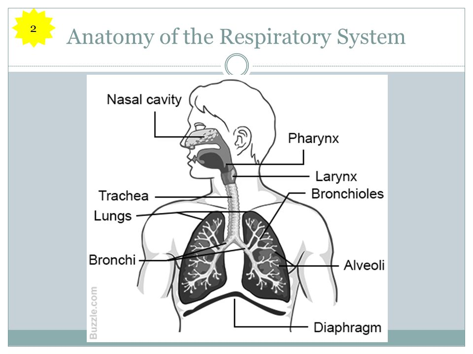 Anatomy of the Respiratory System 2