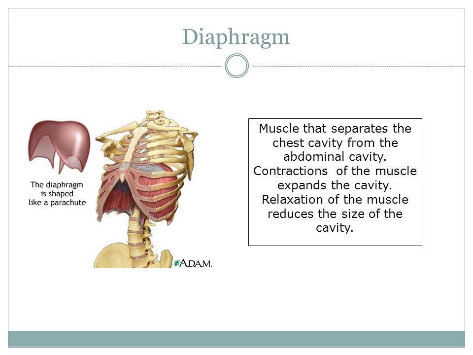 Diaphragm Muscle that separates the chest cavity from the abdominal cavity.