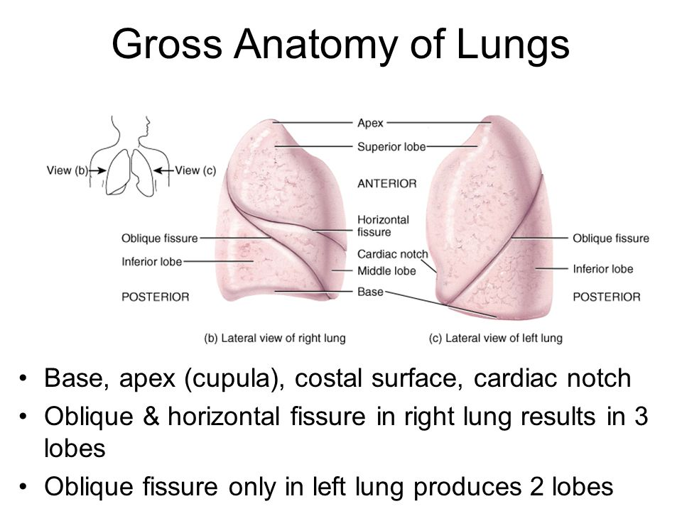 Pleural Membranes & Pleural Cavity Visceral pleura covers lungs ...