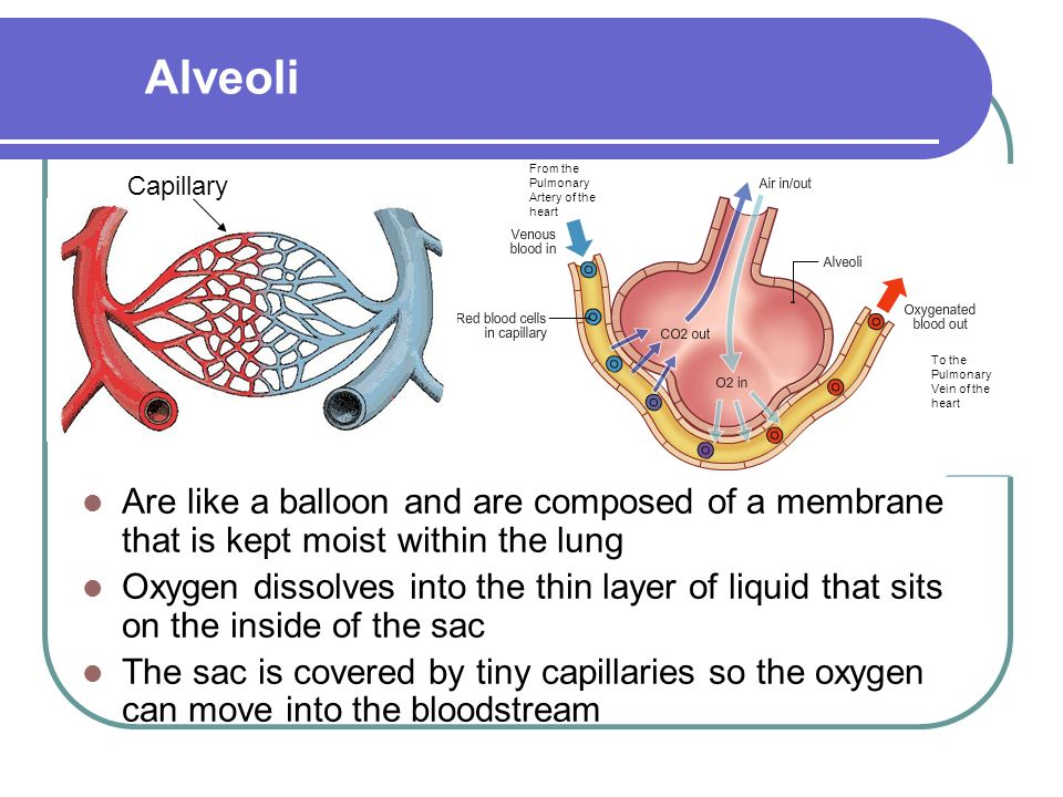 Are like a balloon and are composed of a membrane that is kept moist within the lung Oxygen dissolves into the thin layer of liquid that sits on the inside of the sac The sac is covered by tiny capillaries so the oxygen can move into the bloodstream Alveoli Capillary To the Pulmonary Vein of the heart From the Pulmonary Artery of the heart