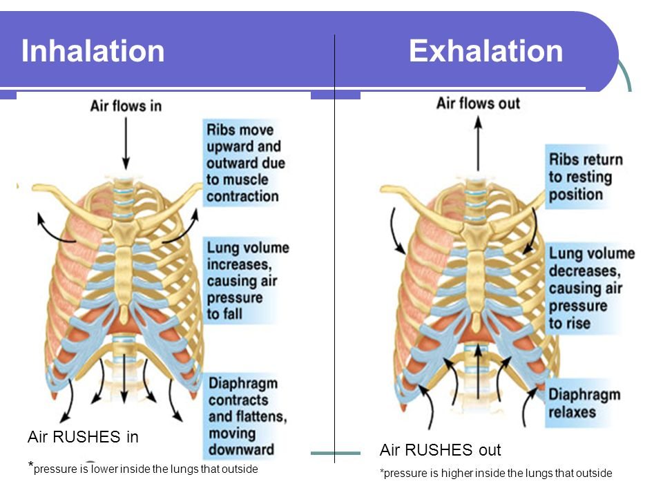 Inhalation Exhalation Air RUSHES in * pressure is lower inside the lungs that outside Air RUSHES out *pressure is higher inside the lungs that outside