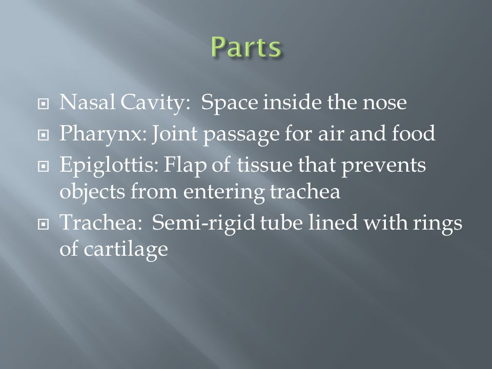 Nasal Cavity: Space inside the nose  Pharynx: Joint passage for air and food  Epiglottis: Flap of tissue that prevents objects from entering trachea  Trachea: Semi-rigid tube lined with rings of cartilage