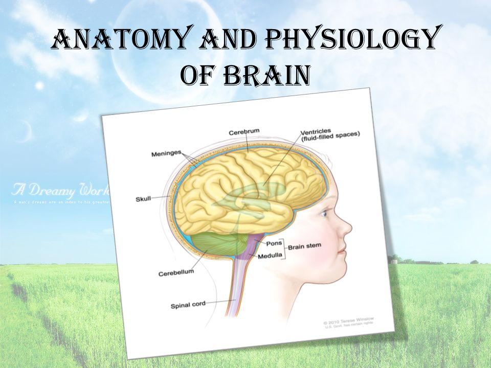 Anatomy and Physiology of brain. Brain cells Neurons and neuroglia ...
