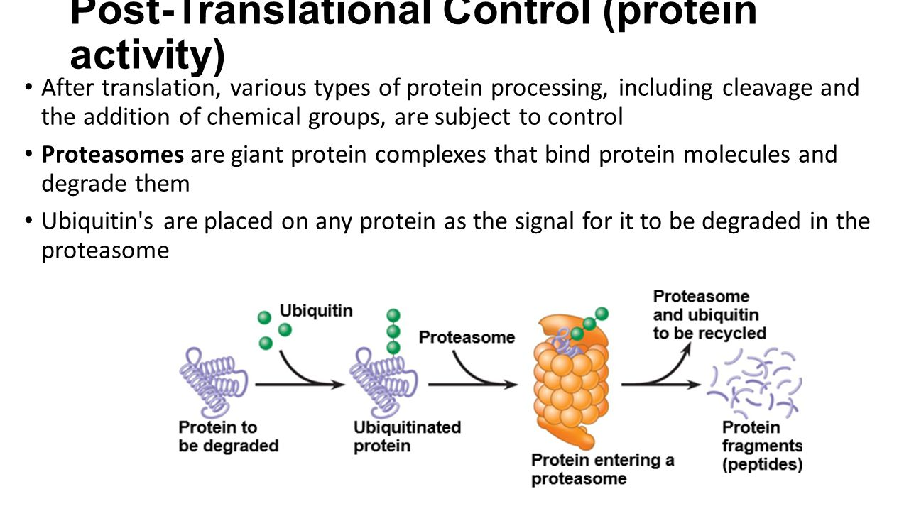 Post-Translational Control (protein activity) After translation, various types of protein processing, including cleavage and the addition of chemical groups, are subject to control Proteasomes are giant protein complexes that bind protein molecules and degrade them Ubiquitin s are placed on any protein as the signal for it to be degraded in the proteasome