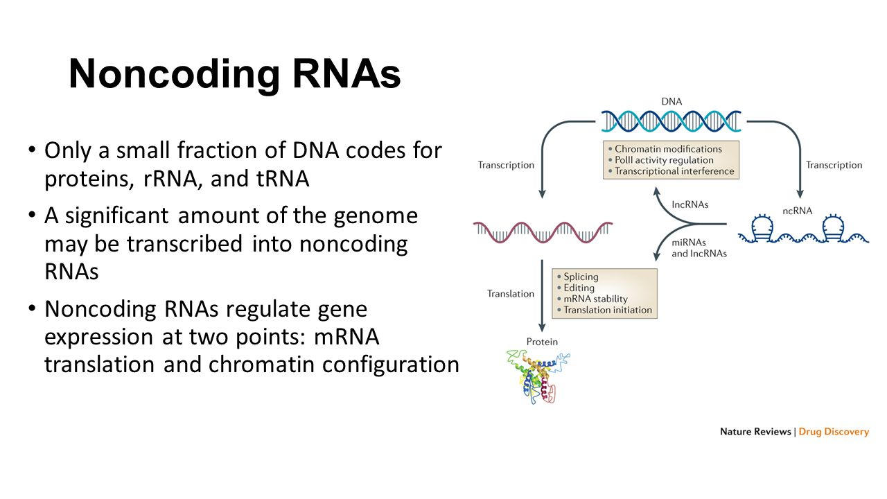 Noncoding RNAs Only a small fraction of DNA codes for proteins, rRNA, and tRNA A significant amount of the genome may be transcribed into noncoding RNAs Noncoding RNAs regulate gene expression at two points: mRNA translation and chromatin configuration